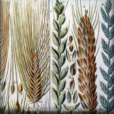 spighe di cereali da trattato di Johann Gessner XVIII secolo, elaborazione ©Fototeca Gilardi