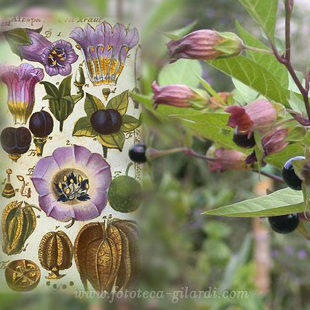 Atropa Belladonna, tavola botanica e fotografia della pianta, ©Fototeca Gilardi